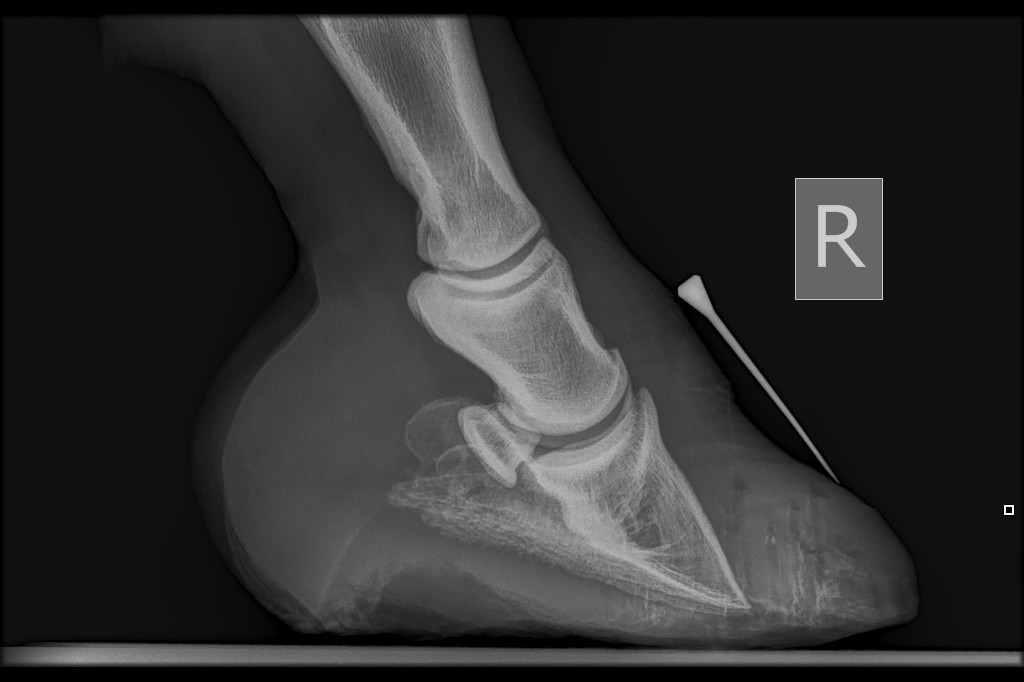 radiograph of equine foot clearly showing pedal bone