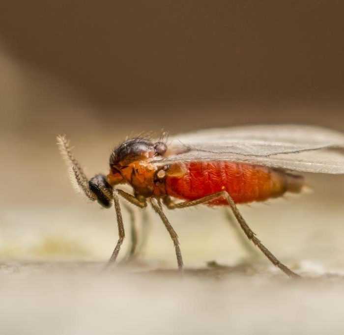 A-tiny-gall-midge-Cecidomyiid-species