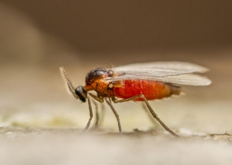 A-tiny-gall-midge-Cecidomyiid-species