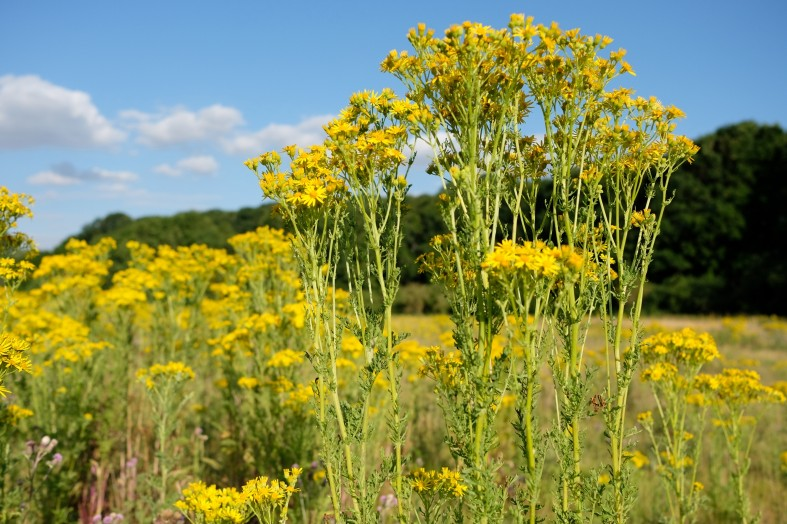 Ragwort must not be left to flourish in neighbouring fields